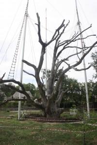 1207 Zaporozia oak tree_11